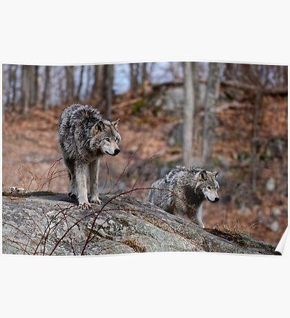 Timber Wolves on Rocks Poster