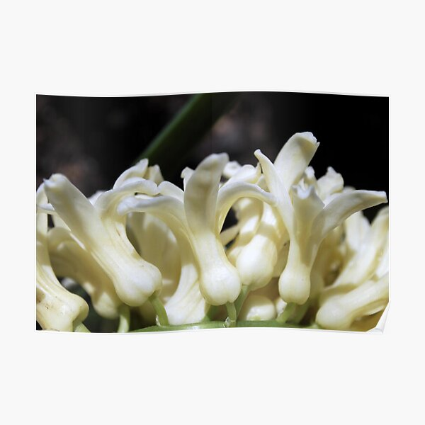 Hyacinth in a Row Poster