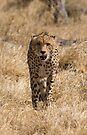 Cheetah (Acinonyx jubatus). Savute, Botswana by Neville Jones