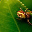 Spider without web by drackar