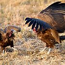 Hooded Vulture Dispute by Michael  Moss