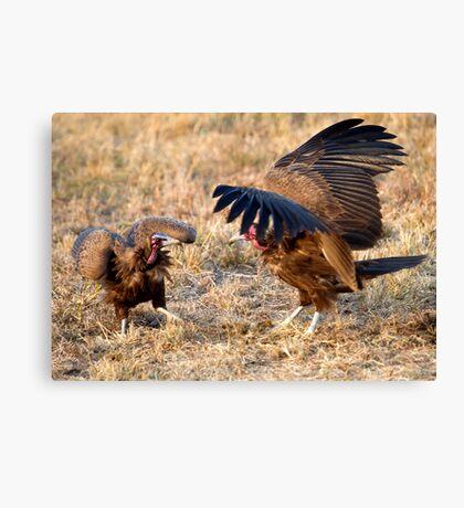 Hooded Vulture Dispute Canvas Print