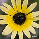 Yellow Australia Daisy by Elena Martinello