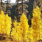 Golden Birch by the57man