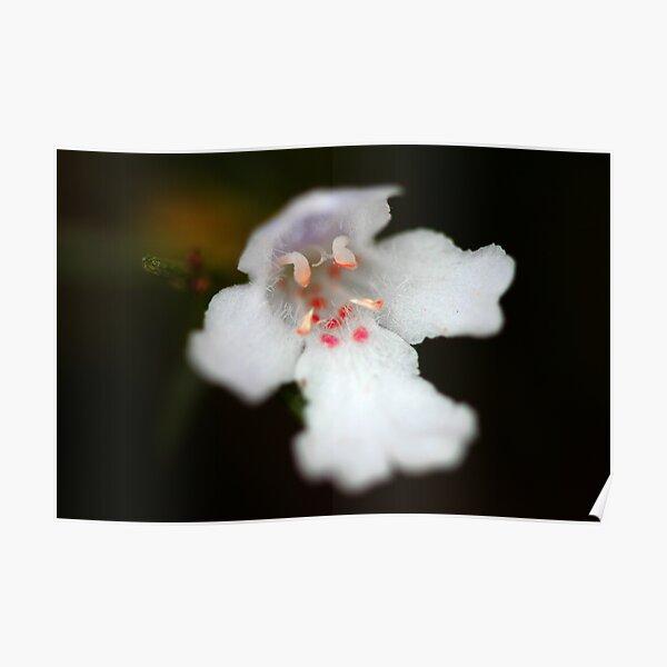 Westringia longifolia  Poster