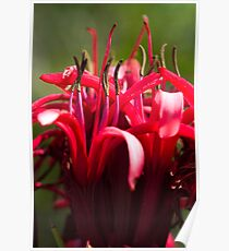 Gymea Lily Poster