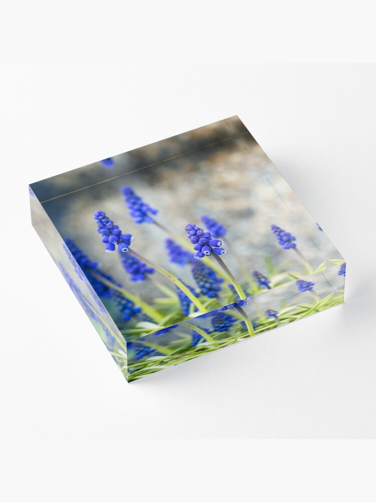 Alternate view of Grape hyacinths flowers in front of stone wall Acrylic Block