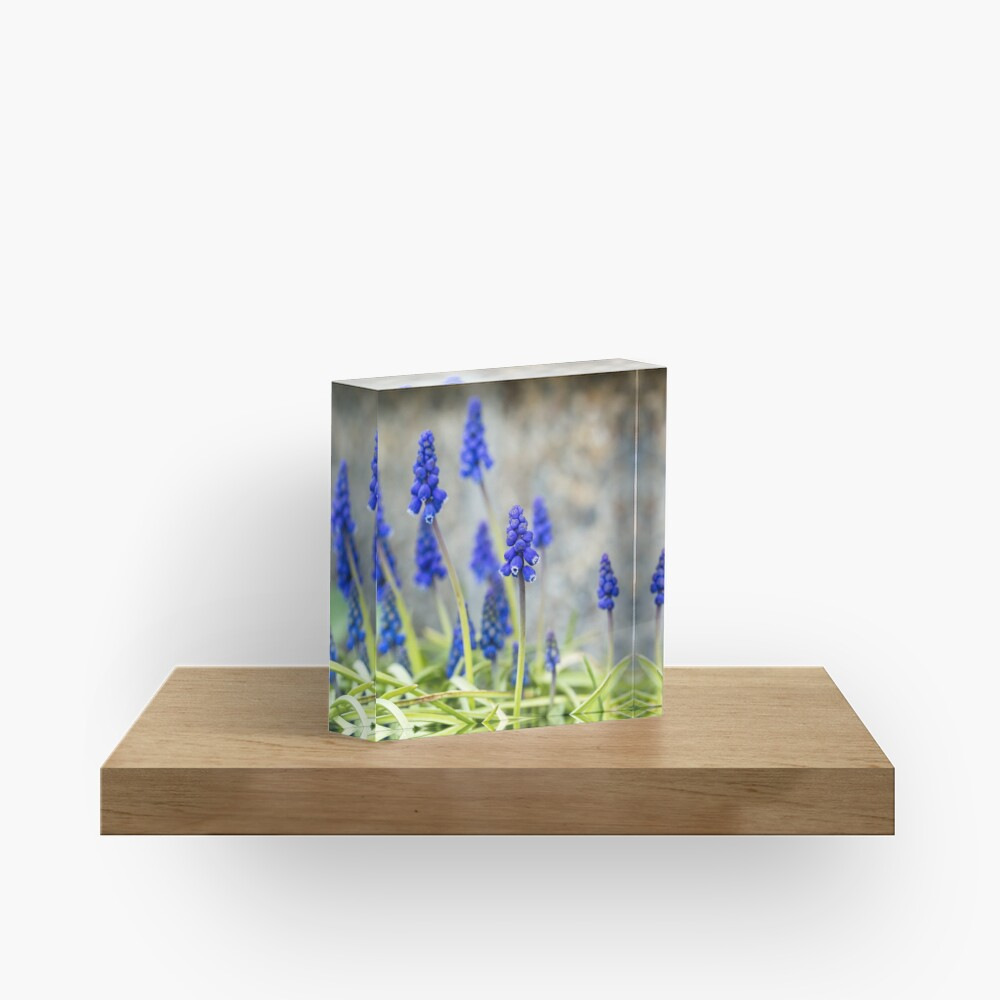 Grape hyacinths flowers in front of stone wall Acrylic Block