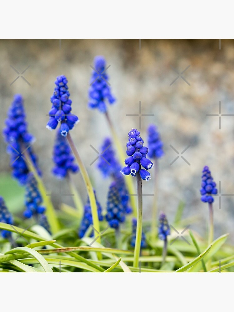 Grape hyacinths flowers in front of stone wall by nobelbunt