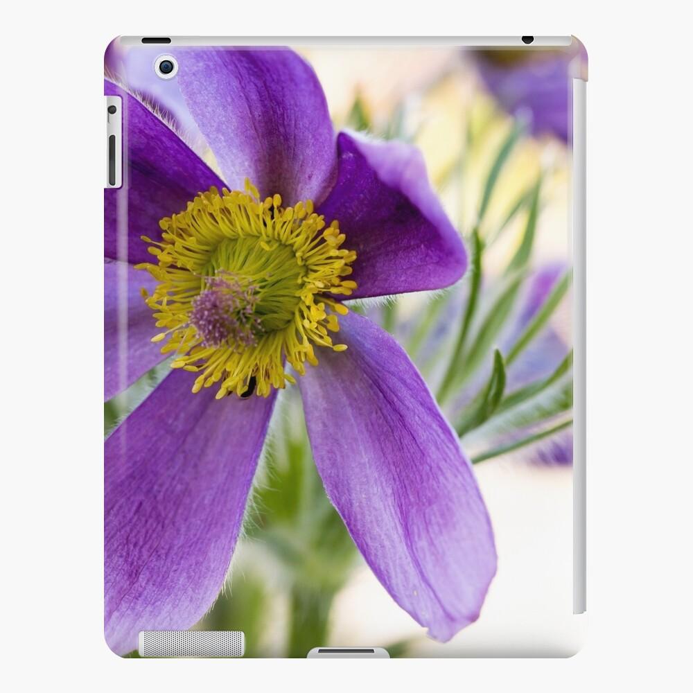 Pulsatilla vulgaris (Kuhschelle) flowers in the garden iPad Case & Skin