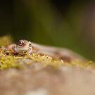 Common Lizard Head-on by kernuak