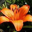 Extravagante orange Lilie von Kathryn Jones