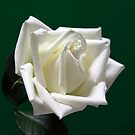 single white rose by robert194