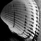 sea shell by Leeanne Middleton