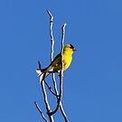 American Goldfinch by Alyce Taylor