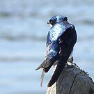 Tree swallow by AlyxDellamonica