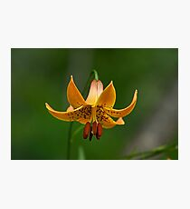 Canada Lily Photographic Print