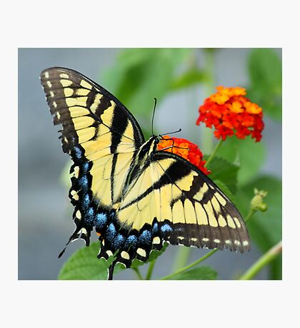 Butterfly Blue and yellow! Photographic Print