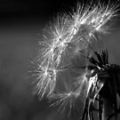dandelion dreaming by Clare Colins