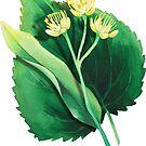 «Acuarela planta de tilo.» de Ekaterina Glazkova