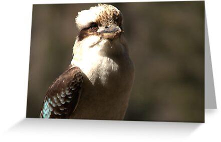 Kookaburra Dreaming by Vikki Shedden Photography