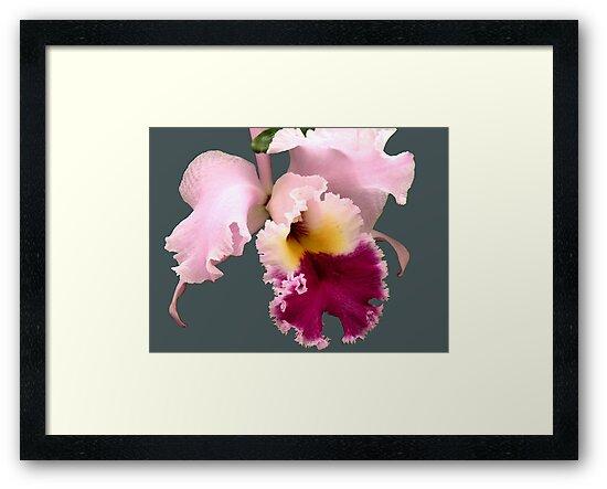Cattleya Orchid by Rosalie Scanlon