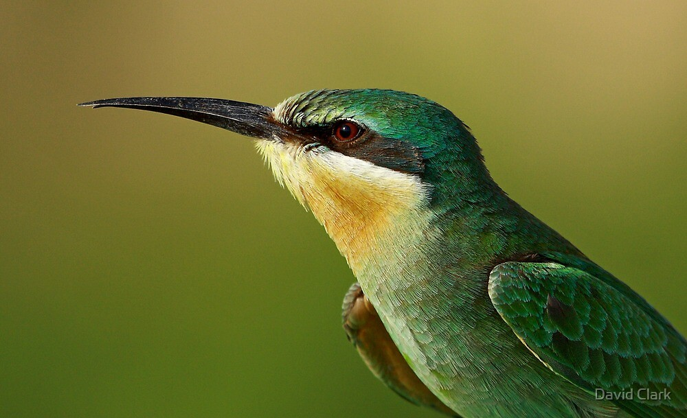 Blue-Cheeked Bee-eater  by David Clark
