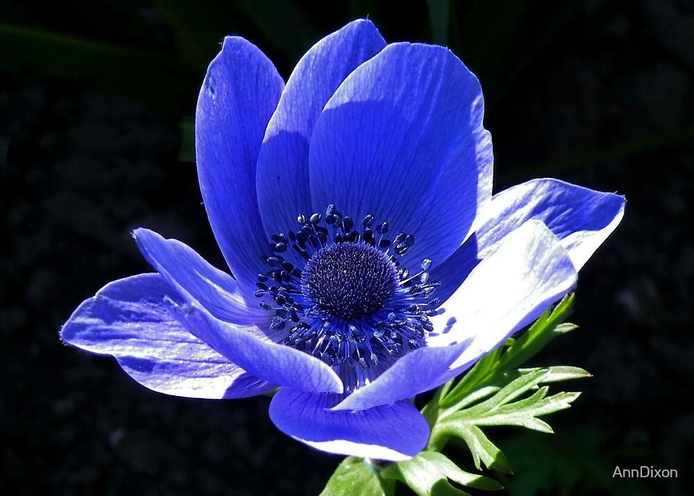 Spring Blue Anenome by AnnDixon