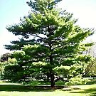 Beautiful Tree - Stanley Avenue Park, Ottawa, ON by Shulie1
