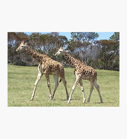 Giraffes - right, we'll go this way then! Photographic Print