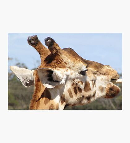 Giraffes - close up and personal Photographic Print