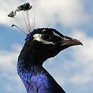 Peacock! by farmbrough