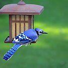 Blue Jay Snack Time by jenndes