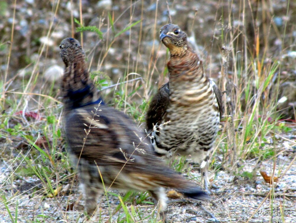 Lets do the Partridge Dance! by Rose Gallik