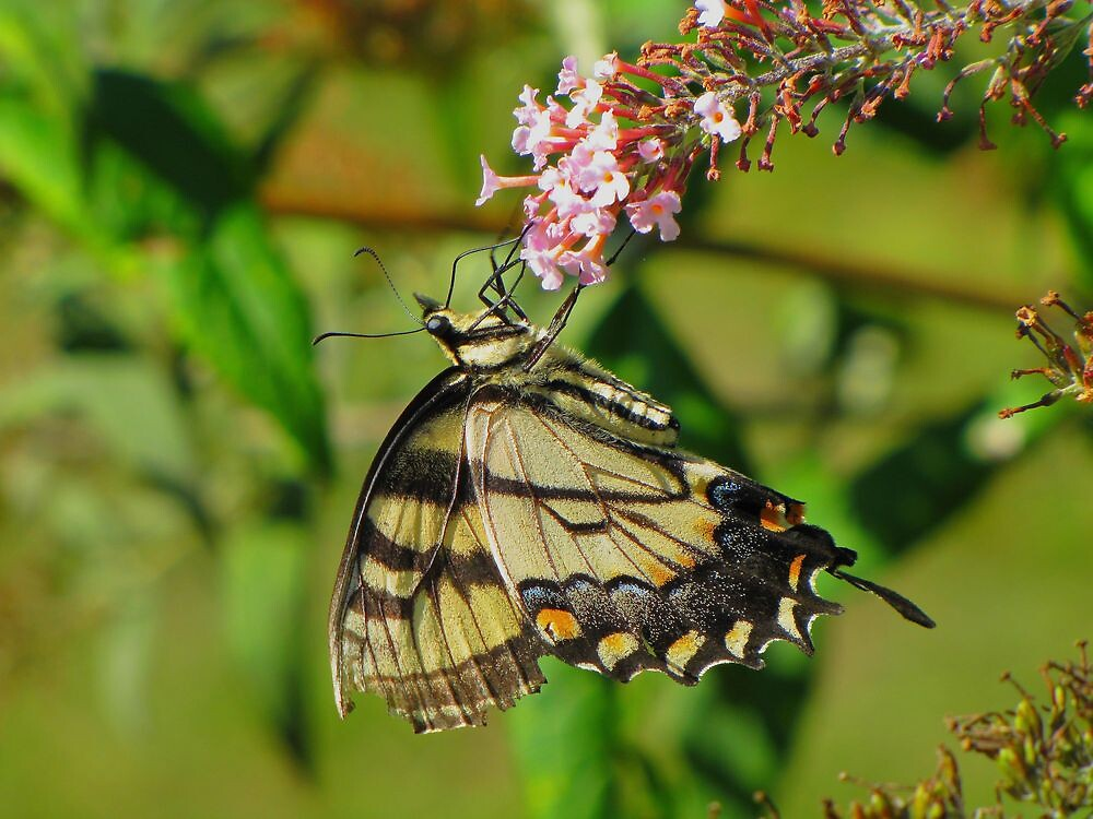 A Pleasing Butterfly by David Dehner