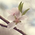 Peach Blossom by Hilary Walker
