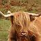 Cows or Bulls