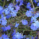 Stunning Blue Leschenaultia by Susan Moss