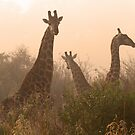 Giraffe in the misted sunrise by Anthony Goldman