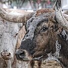 Longhorn Stare by Colleen Drew