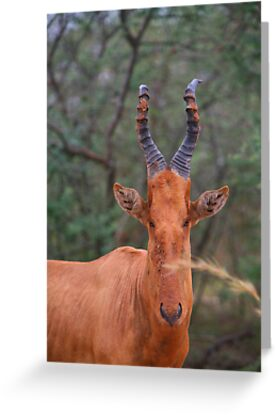 Why the Long Face? - Hartebeest by naturalnomad