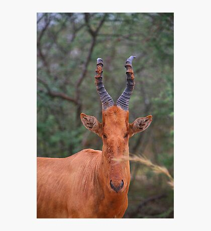 Why the Long Face? - Hartebeest Photographic Print