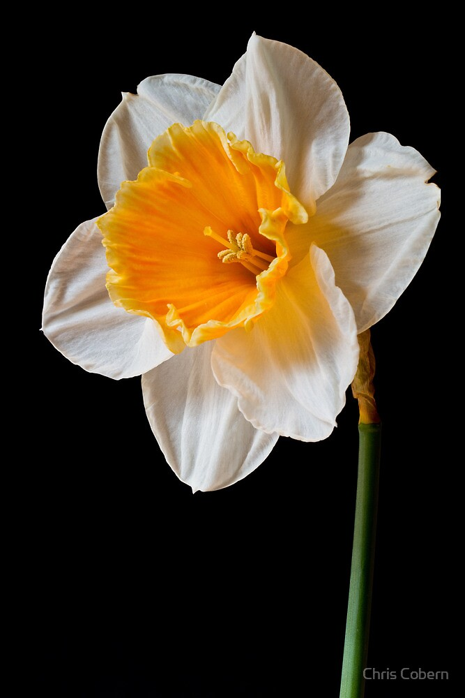 White and Orange Daffodil by Chris Cobern