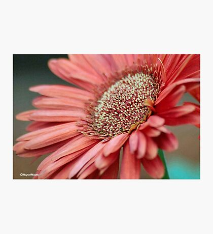 GERBERA IN PINK Photographic Print