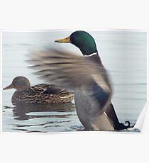 Having a stretch (Mallard Duck) Poster