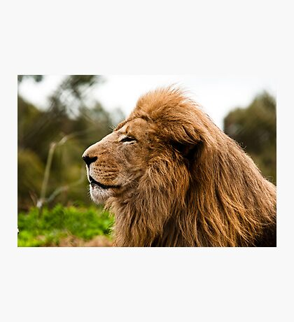 Lion at Werribee II-1 Photographic Print