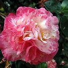 Camellia - Japonica 'Arajishi Variegated' by jules572