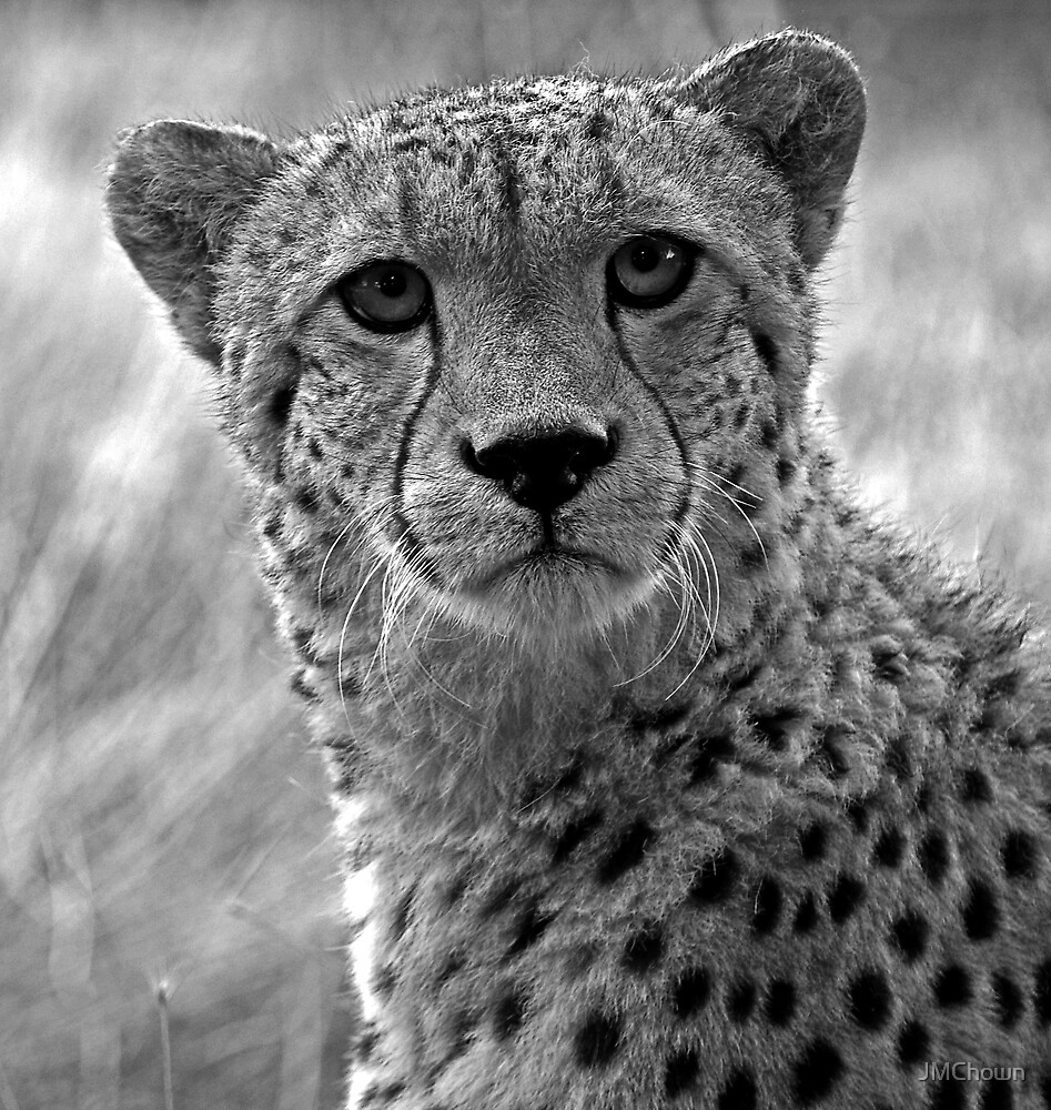 A Cheetah's Portrait by JMChown