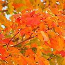 Flaming Maple Leaves by Kelly Chiara