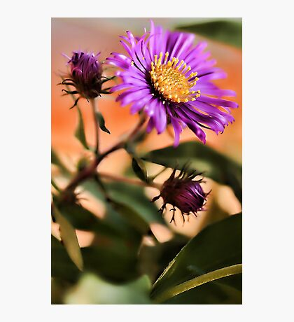 New England Fall Aster Photographic Print